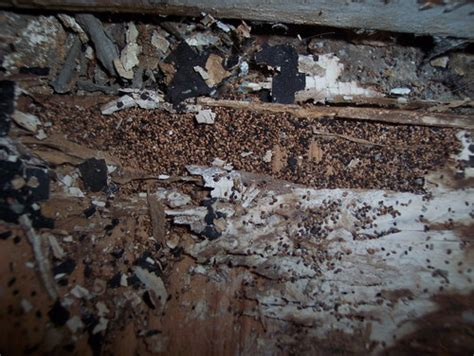 dry wood termites in bathroom advice please