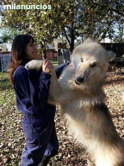 mil anuncios com vacas compra venta y regalo de mil anuncios com lobo compra venta de perros lobo
