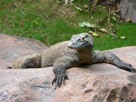 varanus komodoensis wikispecies