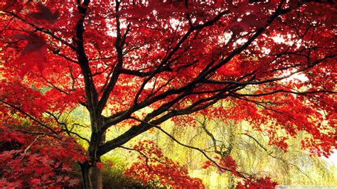 download japanese maple tree wallpaper 1920x1080 wallpoper 437619