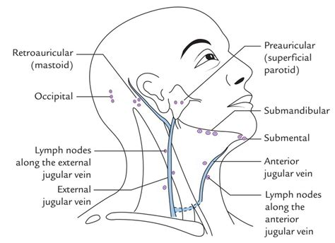 cervical lymph nodes diagram diagram of lymph nodes in choice image how to guide