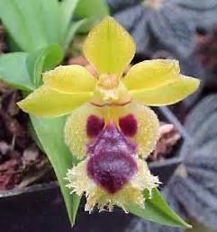 buy an orchid orchid plantsminiature orchidscandidaminiature plant bloom cosmetics