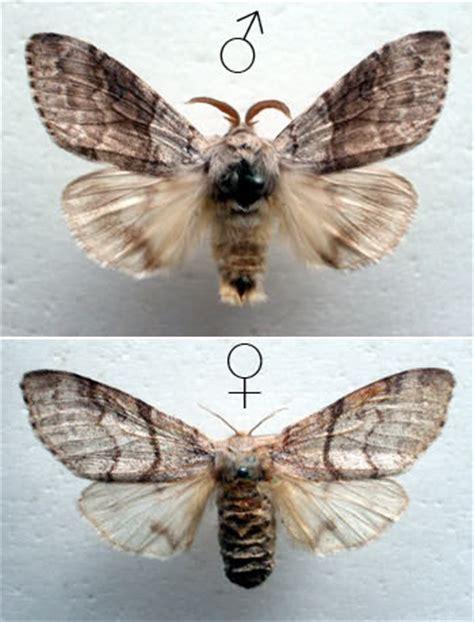 animale vanitoso scrappercat bruco vanitoso farfalla pudica