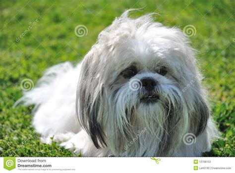 how to my shih tzu puppy to sit shih tzu sitting on grass stock photos image 13768153