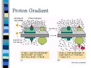 Proton Gradient Proton Gradient