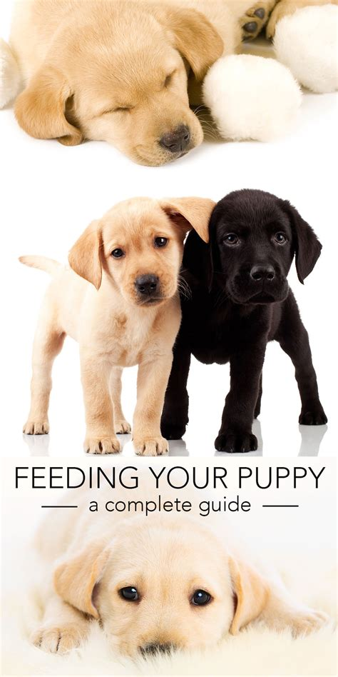 feeding puppies feeding your labrador puppy guide and diet chart
