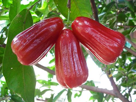 Jual Bibit Jambu Air Thongsamsi membuat bibit stek jambu air madu jurnal asia