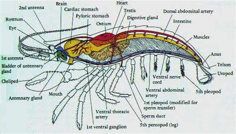 Enchanting Internal Anatomy Of Shrimp Collection - Image of internal ...