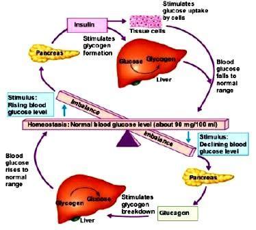 insulin and glucose diagram hillorigronholz homeostasis