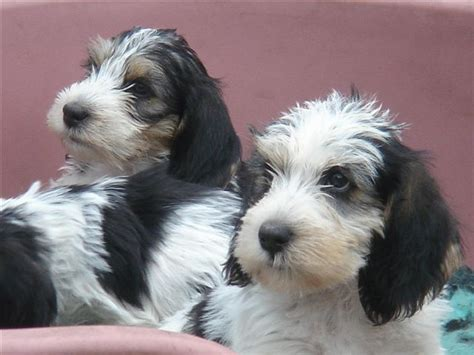 petit basset griffon vendeen puppies for sale pin pbgv puppies for sale on