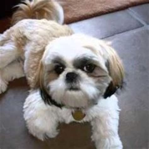 29 best shih haircuts images on pinterest bath cute 1000 images about shih tzu hair cuts on pinterest shih