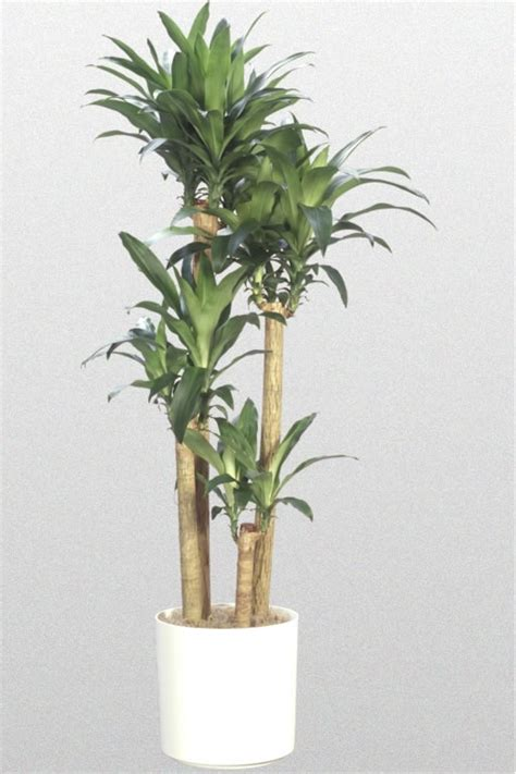dracaena fragrans low light plants
