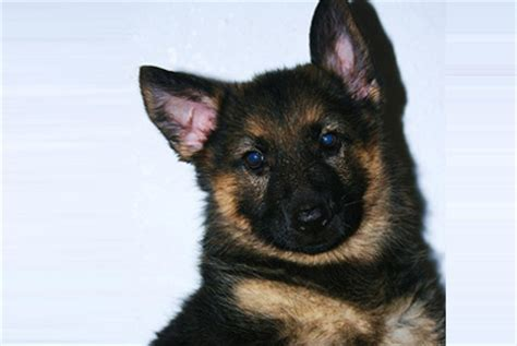 german shepherd puppies for sale nyc large breeds for sale in westchester westchester puppies breeds picture