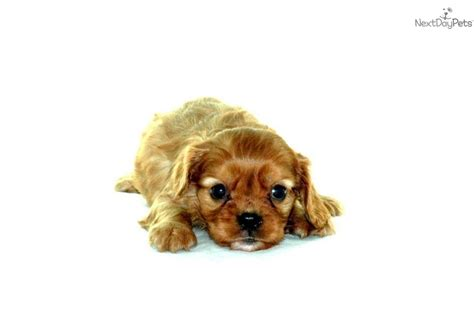 cavalier puppies for adoption cavalier king charles spaniel puppy for adoption near 49168cd2 d5e2