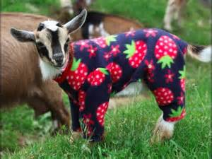 Sunflower farm goats in pajamas long version for fans who need a