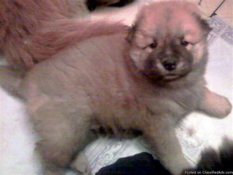 lab chow mix puppies for sale chow lab mix puppies for sale