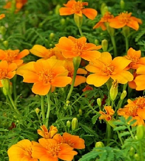 Benih Bunga Marigold T1310 benih marigold tangerine gem 45 biji non retail bibitbunga