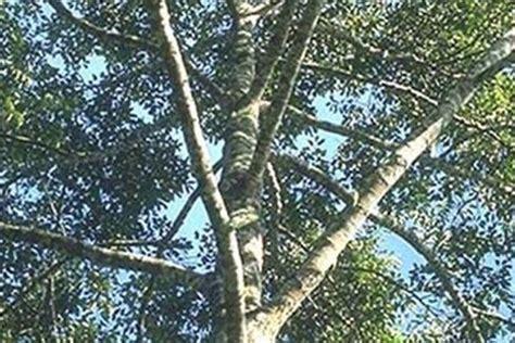 Bibit Pohon Cendana India kayukuina budidaya analisis usaha kayu cendana mysoram