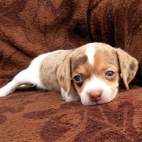 teacup beagle puppies for sale teacup beagle puppies sale image search results