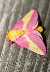 Yellow Toaster Bill Hubick Photography Rosy Maple Moth Dryocampa