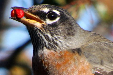 10 000 birds american robins eating hawthorn berries