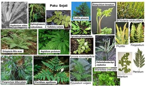 macam macam tumbuhan paku dan nama latinnya belajar berkebun