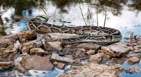 film hamil ular ilmuwan temukan ular raksasa hamil di florida
