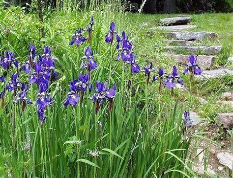 iris patten university of arizona blue flag irises garden design ideas