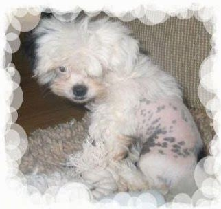 crested shih tzu mix crested tzu breed information and pictures