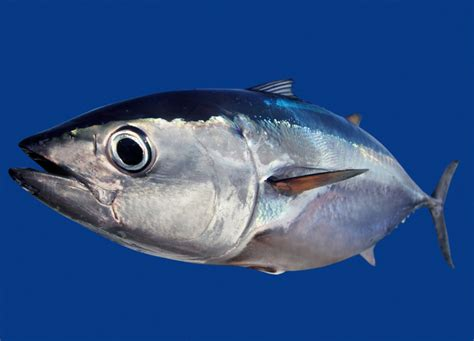 bluefin tuna the life of animals