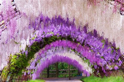 wisteria flower tunnel in japan a colorful walk wisteria tunnel at kawachi fuji gardens japan