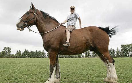 Patung Kuda Uk T 15cm remington niet meer grootste paard ter wereld bokt nl
