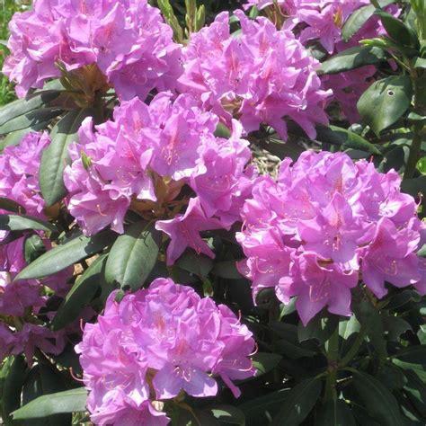 onlineplantcenter 1 gal roseum rhododendron shrub