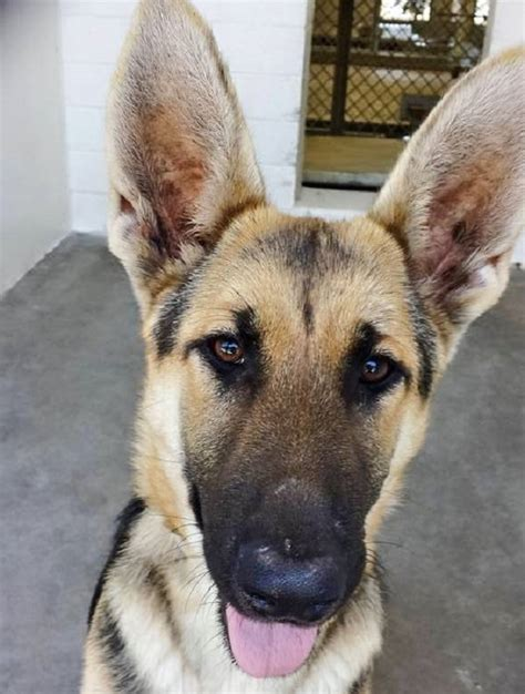 carson shelter dogs gorgeous shepherd returned to shelter 1 year after adoption pet rescue report