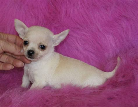 boutique puppies fancy paws puppies boutique chihuahua breeder oroville california