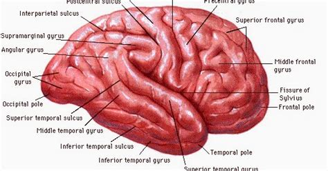format askep tbc asuhan keperawatan lengkap anatomi lapisan otak