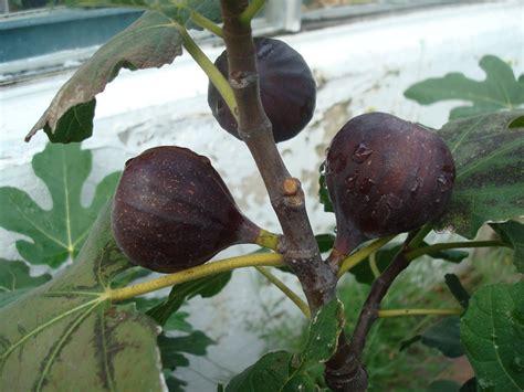 ciri fisik pohon buah tin brown turki berkebun