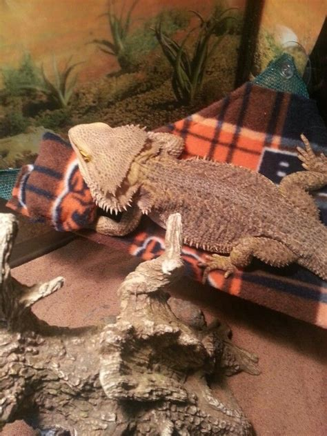 bearded dragon bedding 33 best images about how to spoil your bearded dragon on
