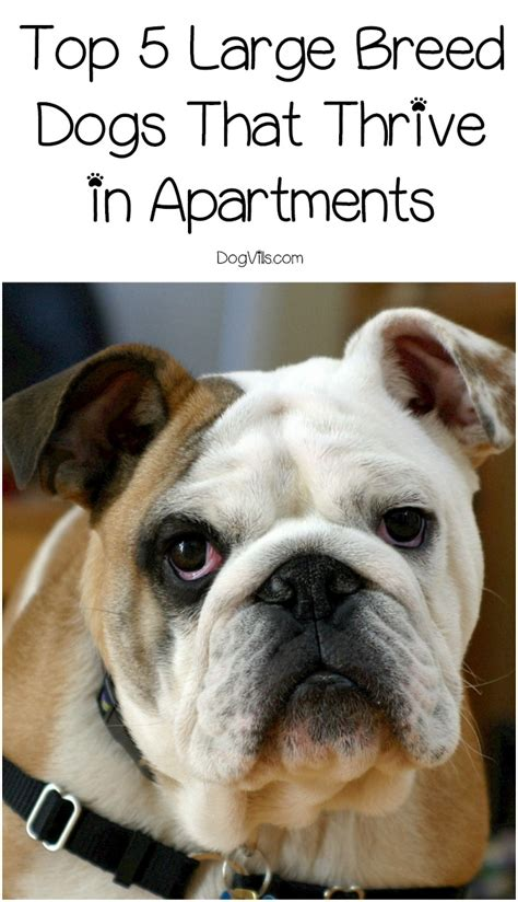 best large dogs for apartments top 5 best large breeds for apartments dogvills