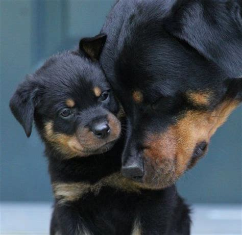 rottweiler cut the 25 best rottweilers ideas on rottweiler puppies dogs and puppies and