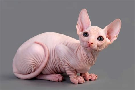 imagenes egipcias de gatos gato egipcio caracter 237 sticas car 225 cter cuidados