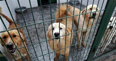 golden retriever animal shelter us a new home for istanbul s stray golden retrievers daily sabah