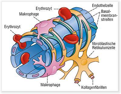 protein z schwangerschaft milzsinus definition gesundheit de