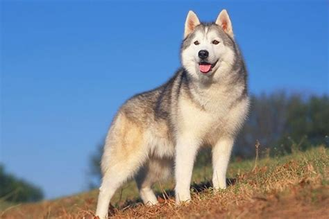 how to a siberian husky puppy siberian husky puppies for sale from reputable breeders