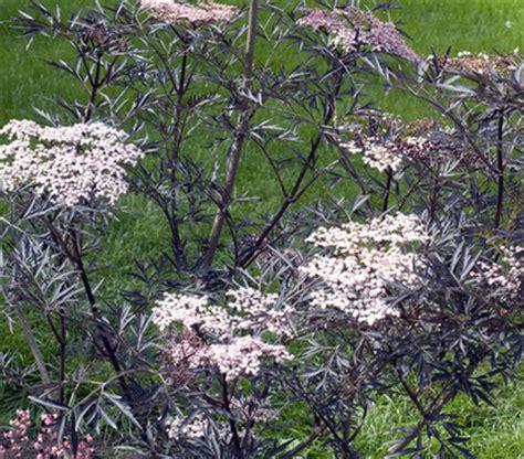 schwarzer holunder black lace holunder black lace sambucus nigra black lace stock