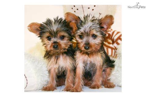 grown yorkie terrier miniature schnauzer yorkie mix puppies book covers