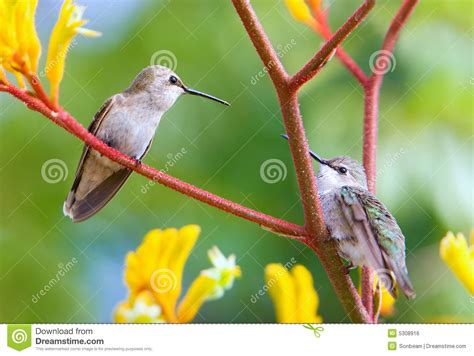 royalty free stock image hummingbirds in the garden