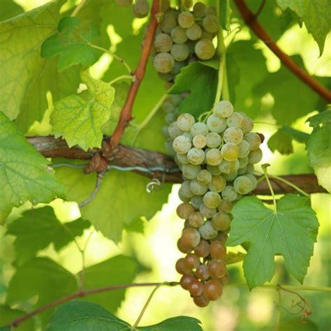 grape vines for sale double a vineyards