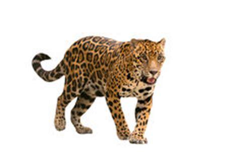 imagenes del jaguar panthera onca jaguar en la selva fotos de archivo imagen 30305003