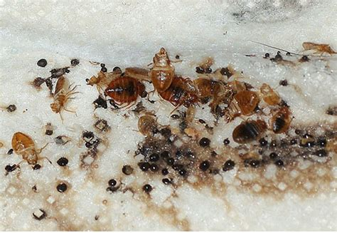 photos of signs of bed bugs how to check for bed bugs in your home